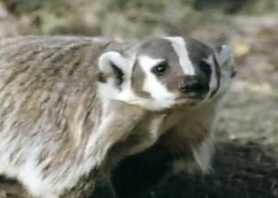 Levis Badger